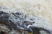 Brown trout on a rock at the Falls of Shin, after it has attempted to leap the falls and fallen back down.