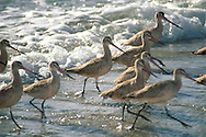 Marbled Godwit shorebirds run water edge surf foam, Torrey Pines State Beach, San Diego County, California