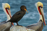 A Double-crested Cormorant is framed by two Brown Pelicans on the rocks at Goldfish Point,  La Jolla, CA