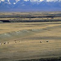 MONGOLIA, Darhad Valley.  Horses, cattle & yaks graze in front of Horidol Saridog Mts.