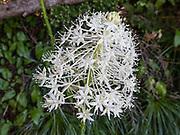 Bear grass (Xerophyllum tenax; in the corn lily family, Melanthiaceae) flower in Spray Park, Mount Rainier National Park, Washington, USA.