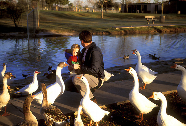Stock photo of a father and son surrounded by curious geese and ducks.