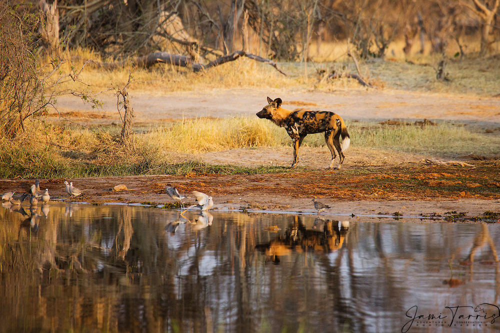 After a drink of water, an African Wild Dog (Lycaon pictus) is reflected on the water while waiting for the rest of the pack on a cool winter morning, Moremi Game Reserve,Botswana, Africa