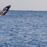 Humpback Whale Breaching 4 of 9, Maui Hawaii