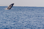 Humpback Whale Breaching 4 of 9, Maui Hawaii