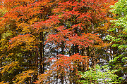 Maple trees at Forest Park in Everett, Washington, display the full range of fall colors.