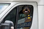 An angry Rottweiler dog barks at passers-by through a couriers open white van window, on 21st August 2018, in London, England.