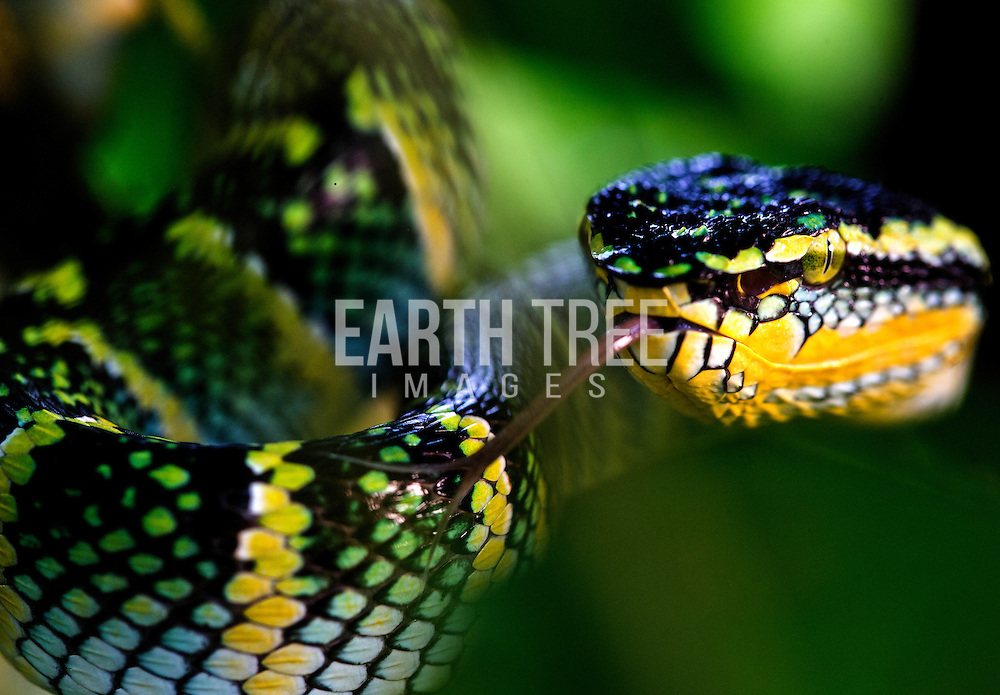 Wagler's Pit Viper strikes. One of the many species, found in Leuser Ecosystem, Sumatra, Indonesia. Photo: Paul Hilton