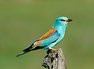 Roller Coracias garrulus. Length 30-32cm. A colourful and unmistakeable bird of crow-like proportions and size, with a powerful, hook-tipped bill. Adult has a blue head, neck and underparts, palest on the forehead and with a narrow dark patch through the eye. The back is chestnut and the rump, tail and parts of the wing are bluish-purple. In flight, the wings look striking, the dark flight feathers contrasting with the paler blue coverts; note also the dark tips to the otherwise pale blue outer tail feathers. Juvenile has similar markings but the colours are much duller. The Roller breeds in southern Europe and winters in Africa, and most records in our region (four or five in a good year) occur around migration times. Vagrants are usually found in dry, open habitats such as heaths, and typically perch out in the open.