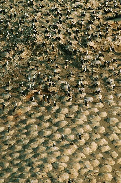 Peruvian Boobies Nesting<br />Sula variegata<br />Lobos de Afuerra, off PERU.  South America<br />RANGE: SW Colombia to Chile