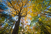 Forest canopy, October, Togue Pond area, Baxter State Park, Maine, USA