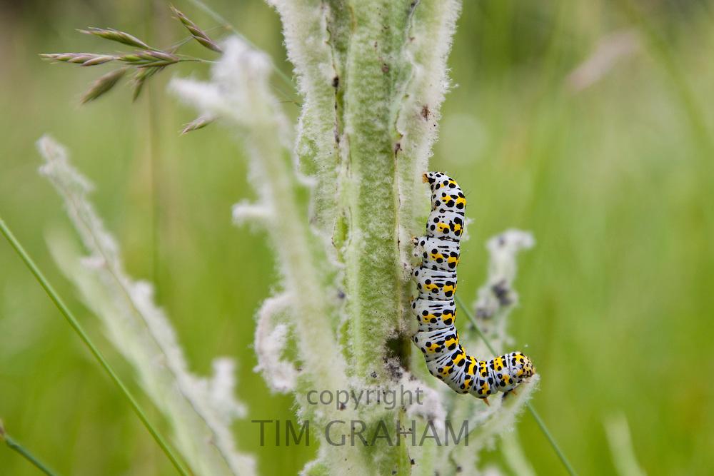 Mullein Shargacucullia verbasci moth caterpillar feeding on wild poppy plant in English country garden, UK