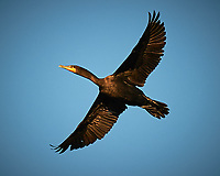 Double-crested Cormorant in flight over Big Cypress Swamp. Image taken with a Nikon D3s camera and 70-200 mm f2.8 lens (ISO 200, 200 mm, f/2.8, 1/5000 sec).