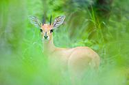 Steenbok, Raphicerus campestris, Hwange National Park, Zimbabwe