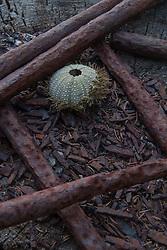 Sea Urchin Shell and Old Iron Bars, Nautilus Island, Castine, Maine, US