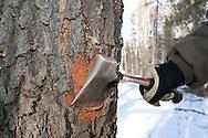 Photo Randy Vanderveen.Grande Prairie, Alberta.A hatchet is used to peel back bark to expose an infested tree.