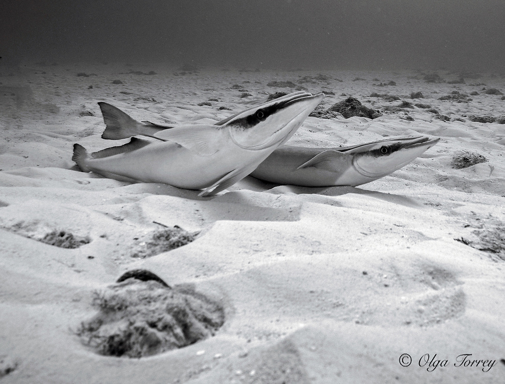The whitefin sharksucker (Echeneis neucratoides) or short-disk sharksucker, is a species of remora native to subtropical waters of the western Atlantic Ocean, Gulf of Mexico and Caribbean Sea.