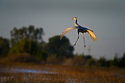 A Greater Sand Hill Cranes sets down for a landing in his bedroom for a night of sleep at the Cosumnes River Preserve. November 2, 2011.