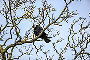 Raven bird standing by its nest built on the trees of the park by Front Street in Bamburgh on Wednesday, March 17, 2021. (Photo/ Vudi Xhymshiti)