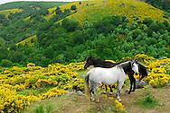 France, Languedoc Roussillon, Lozère (48), Cevennes, Mont Lozère,  genêts