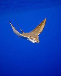 ocellated eagle ray, Aetobatus ocellatus, Kona Coast, Big Island, Hawaii, USA, Pacific Ocean