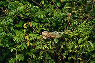 A green iguana (Iguana iguana) rests in the branches of a bush near Punta Rio Claro National Wildlife Refuge, Costa Rica.