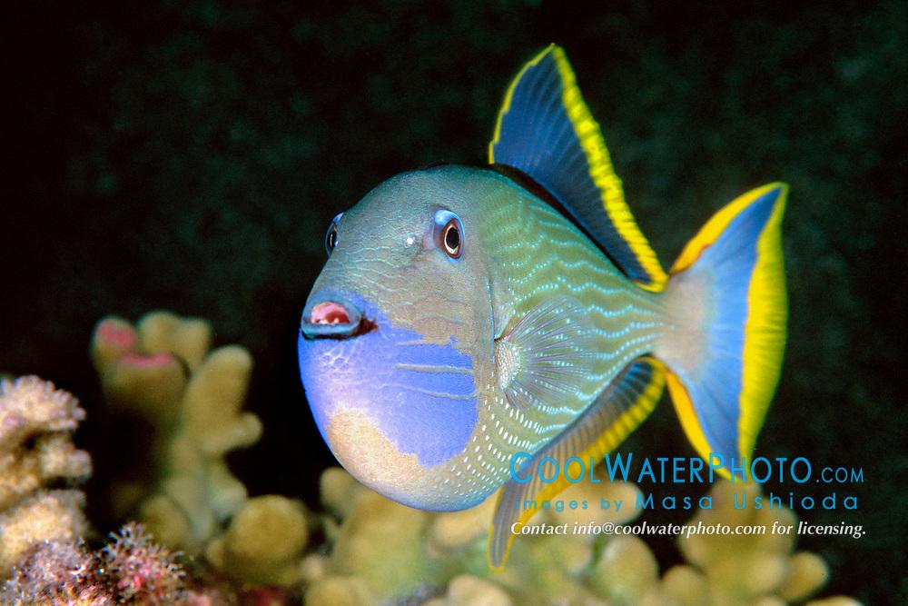 gilded triggerfish or humuhumu male, Xanthichthys auromarginatus, Kona, Big Island, Hawaii, Pacific Ocean