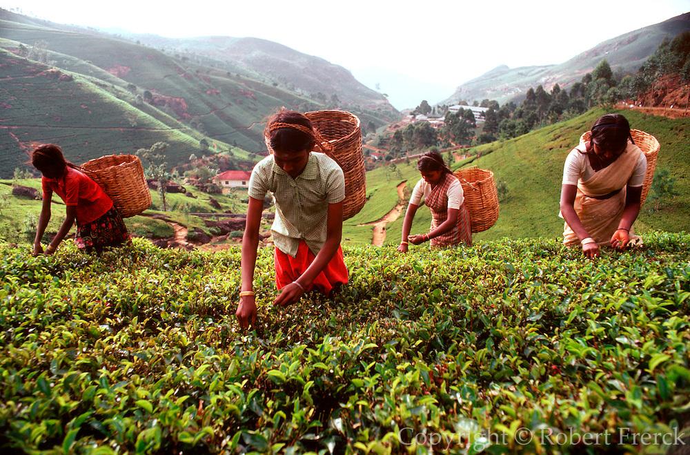 SRI LANKA, AGRICULTURE picking tea leaves on a plantation in the  southern highlands near Nuwara Eliya