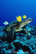 green sea turtle, Chelonia mydas, being cleaned by algae-eating surgeonfish (tangs) Zebrasoma flavescens and Acanthurus  sandvicensis, Hawaii ( Pacific Ocean )