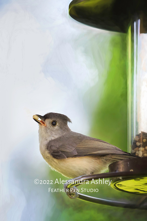 Tufted titmouse on feeder perch, about to fly away with a choice safflower seed in beak.
