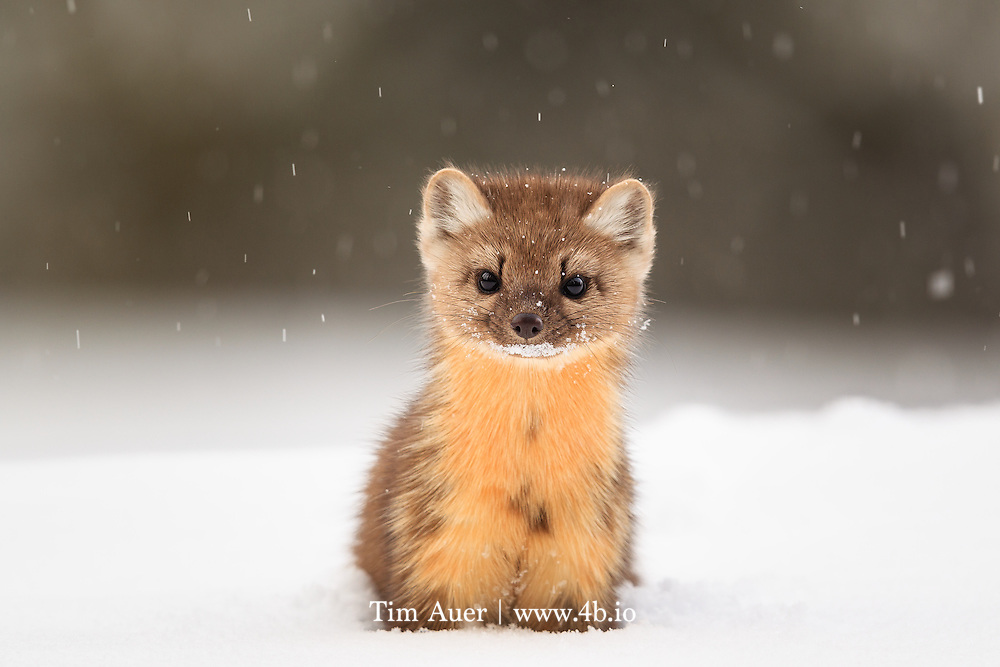 Eye to Eye: American Marten<br /> American Marten <br /> Martes americana<br /> Yellowstone National Park, USA<br /> By Tim Auer<br /> Mountain View, California, USA<br /> www.4b.io<br /> The story: <br /> Look closely into this marten's eyes. If you look carefully, you can see the reflection of the forest scene before it.<br /> <br /> A curious and playful species, the american marten is not an easy animal to photograph. It is small and fast with an ability to vanish as quickly as it appeared, and certainly won't wait for you to switch to your telephoto lens. If a wildlife photographer wishes to capture this species in its natural habitat, s/he needs to be prepared upon encounter..  <br /> As is typical of special wildlife photos, this photo is the result of preparation, and a bit of luck. While snowmobiling through Yellowstone, I stopped for a break near the Swan Lake Flat. Fortunately, I had an optimal setup already on my camera, 600mm F/4 +1.4x Extender, giving 840mm focal length. I drove the snowmobile with this camera+lens on my lap all day, which, given the size of this kit, is no easy task to do while handling a snowmobile. But having this kit immediately available during the few brief seconds the marten was in sight, made this shot possible. The marten bounded with ease on top of the 4 ft/1.5m deep powder snow, and appeared to play peekaboo from behind trees, while I postholed clumsily behind it, keeping the lens barrel above my head to keep snow out. It was not easy to get into shooting position with such deep snow, in fact it was exhausting.  But as I crouched deep in the snow, at eye level with the marten while flakes of powder snow fell softly, I clicked this sharp result. <br /> <br /> The American Marten is classified as a furbearer by most of the state wildlife agencies in its distribution, but fortunately, several of the states it calls home do not have a trapping season for it. Still its presence is an important indicator of the overall health of i