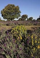 Holm oak (Quercus ilex rotundifolia), Spanish Gorse (Genista hispanica) and French or Spanish lavender (Lavandula stoechas), Dehesa landscape, Monfrague National Park, Extremadura, Spain.