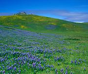 Lupine in Spring, Nicacio, Marin County, California