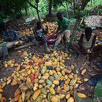 Workers at a CAYAWE cocoa farm. CAYAWE coop is a Fairtrade-certified cocoa producer based in Aniassue in the Ivory Coast. The coop has nearly 1,500 members and can produce around 5,000 tons of cocoa a year. With the Fairtrade premium from 2015, amongst other things, CAYAWE built a high school for up to 210 students and drilled six wells.
