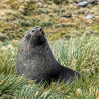 A male Antarctic fur seal peers from the tussock grass in Moltke Harbour on South Georgia Island.