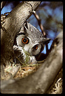 White-faced owl sits in nest in September in Kalahari Gemsbok National Park. South Africa
