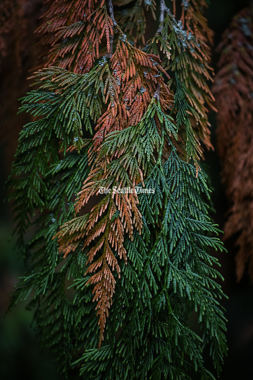Cedar branches turning color in the fall at the Washington Park Arboretum.<br /> <br /> Steve Ringman / The Seattle Times
