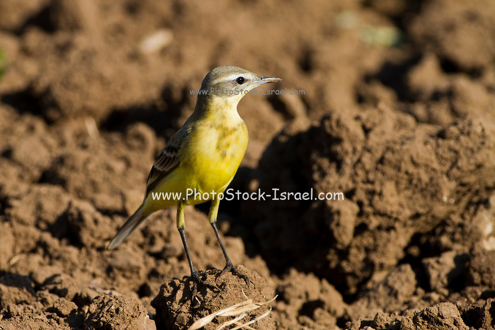 Adult male Blue-headed Wagtail (Motacilla flava flava) Photographed in Israel in September