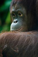 Orangutan expressions.