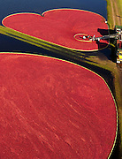 Cranberries are corralled during the fall harvest (Photo © Andy Manis)