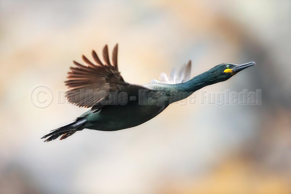 Escaping Cormorate on nice colourful background. Picture is uncropped | Flyktende Skarv på fin fargerik bakgrunn. Bildet er ikke beskjert.