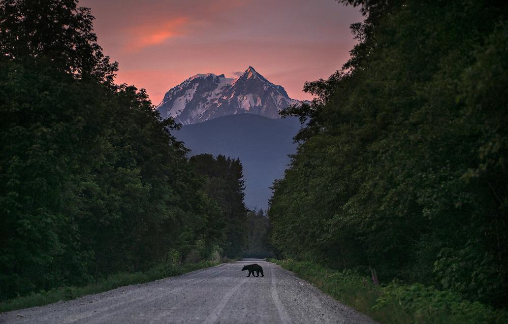 A black bear crosses a backroad at dusk in Squamish, BC. (2015)