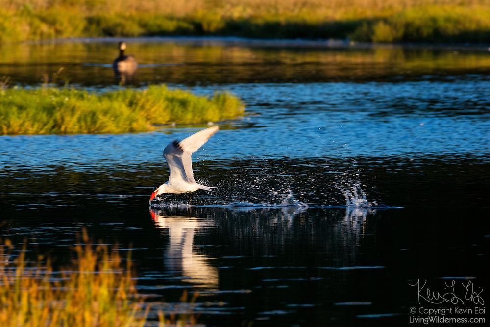 A Caspian tern (Hydroprogne caspia) flies low, skimming the water of the Edmonds Marsh in Edmonds, Washington, to find food.