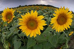 Sunflowers, Mantoudi, Euboea,  Greece