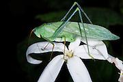 Katydid feeding on flower<br /> Odzala - Kokoua National Park<br /> Republic of Congo (Congo - Brazzaville)<br /> AFRICA