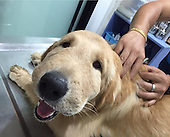 Golden Retriever can't stop smiling