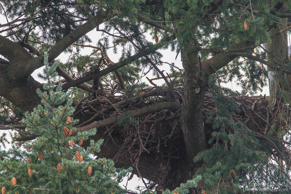 An adult bald eagle (Haliaeetus leucocephalus) is hidden while on its nest in Heritage Park, Kirkland, Washington. Bald eagles have the largest nests of any North American bird. One bald eagle nest in Florida was 9.5 feet (2.9 meters) wide, 20 feet (6.1 meters) deep, and weighed nearly 3 tons.