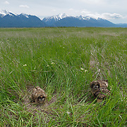 Short-eared owls chicks recently fledged. Ninepipe NWR, Charlo, Montana
