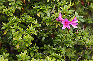 Rhododendron sp. Alishan National Scenic Area, Taiwan