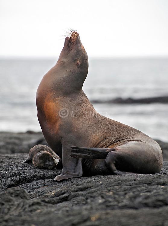 Galapagos sea lion (Zalophus wollebaecki) with newborn cub at James Bay, Santiago island, galapagos.